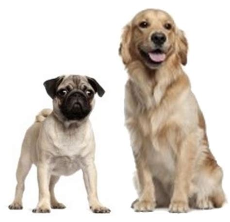 pug cross golden retriever golden retriever mix breeds breeds picture