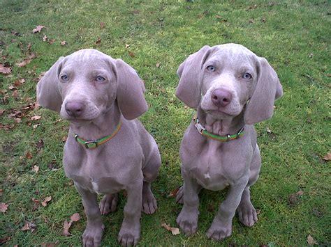 weimaraner puppies weimaraners jorjenjo
