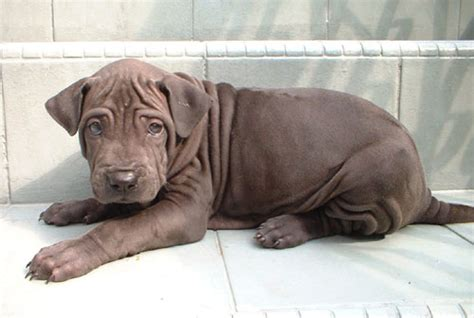 thai ridgeback puppies for sale malaysia and puppy portal commercial puppies for sale local thai