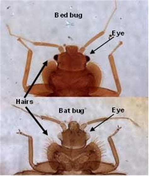 can you see bed bugs during the day have i found a bed bug let s beat the bed bug