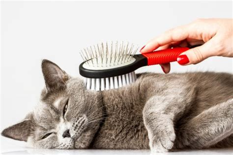Stop Cat From Shedding by Cat Hair Everywhere How To Deal With Shedding The
