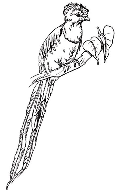 quetzal bird coloring page umbrella coloring page the quetzal