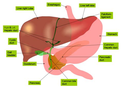 How Often Can You Detox Your Liver by Dr S Healthy Planet Detoxification An