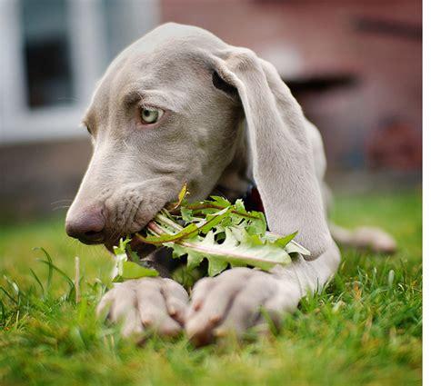 how much are weimaraner puppies weimaraner puppy veges png