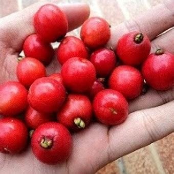 Benih Biji Cherry Ungu bibit cherry