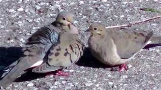 do mourning doves mate for life