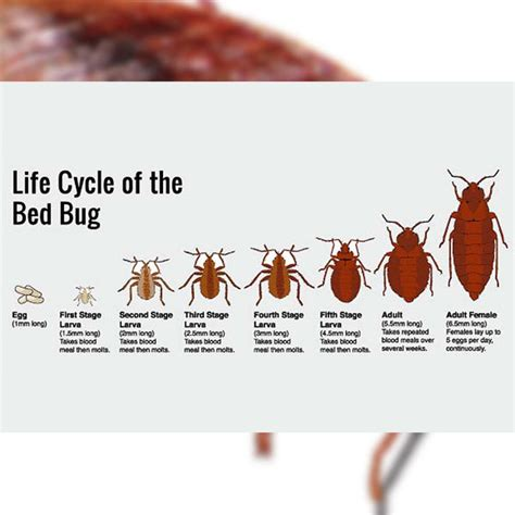 bed bug extermination process bed bug treatment