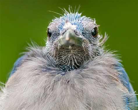 bald blue jay molting blue jay close up head shot