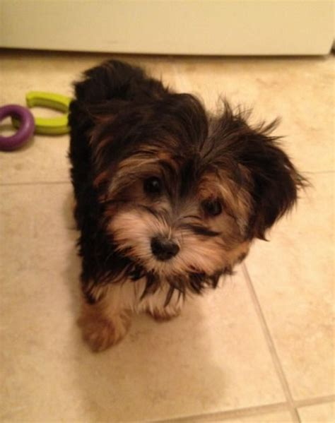 yorkies morkies and more best 25 morkie puppies ideas on teacup small puppies and