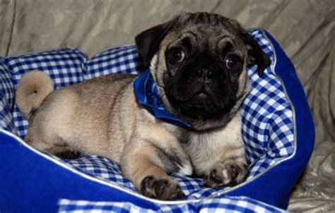 pug puppies for sale new orleans purebred pug puppies 8 weeks usa free classifieds muamat