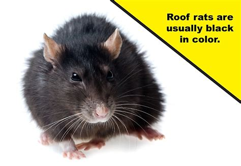 how to get a rat out of your house how to get roof rats out of your house the best rat of 2018