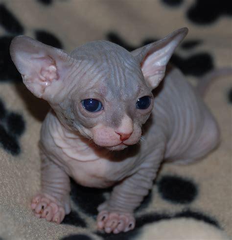 50  Cutest Hairless Sphynx Cat Photos   Golfian.com