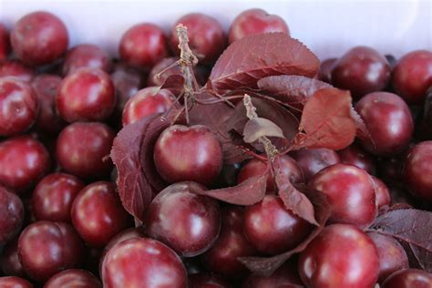 Cherry Plumb by What Are The Facts About Cherry Plums Nutrawiki