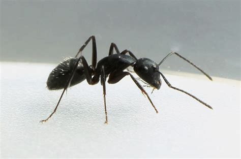 Big Black Ants In Kitchen by Ant Pest Canberra Canberra Pest Act 100