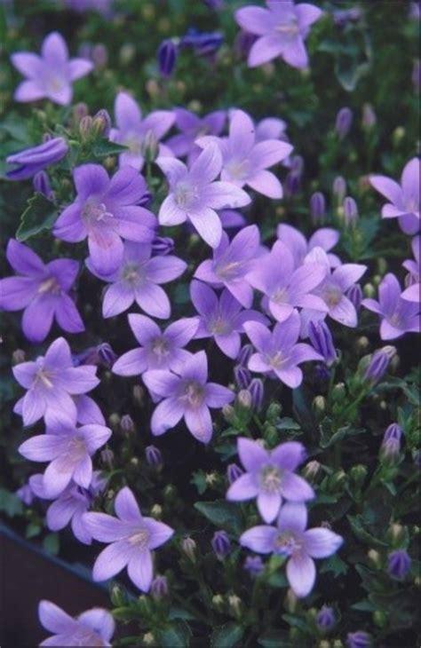 fiori resistenti piante e fiori da balcone resistenti foto tempo libero