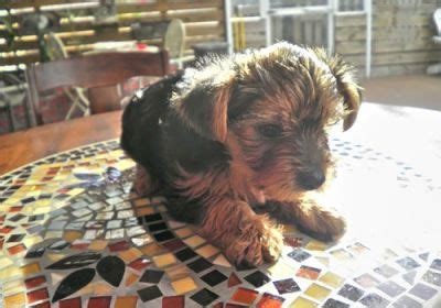 teacup yorkies for sale in kent yorkie puppies for sale
