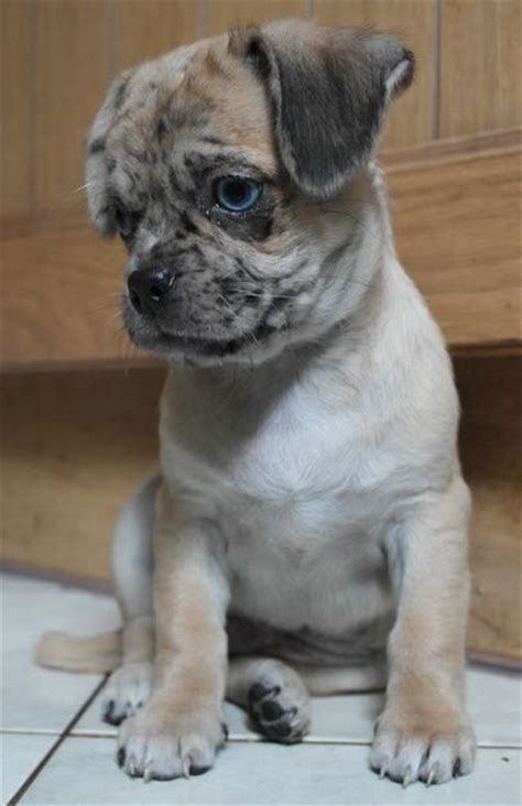 dachshund pug pug and dachshund daug pug mix
