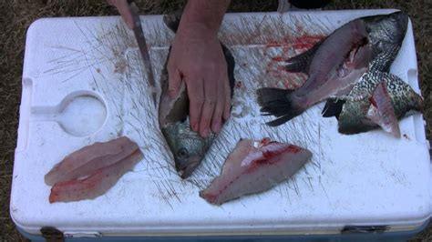 how to fillet a crappie how to fillet crappie