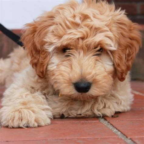 mini labradoodle puppies s past litters of mini multigen australian labradoodles