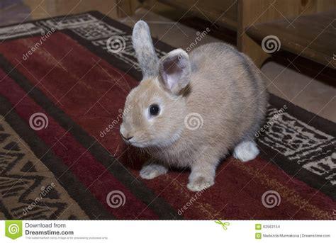 Golden Rabbit by Golden Rabbit Domesticated Pet Looking Ahead Suitable