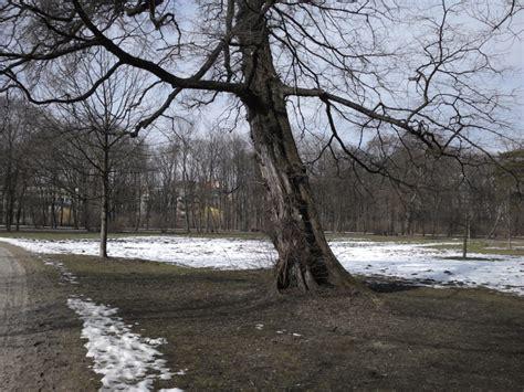 Englischer Garten München Koordinaten by Ulmus Laevis Im Englischen Garten M 252 Nchen