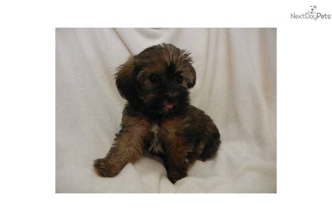 yorkie poo for sale in ky yorkiepoo yorkie poo for sale for 600 near bowling green kentucky 60bb9c2e f8b1