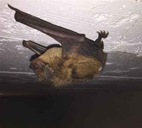everett bat removal and bellingham bat removal