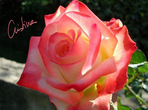 image gallery las rosas mas lindas d 237 as de rosas octubre 2011