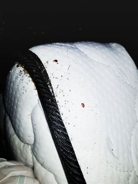 What Like In Bed by What Do Bed Bugs Look Like 53 Pictures Of Bed Bugs