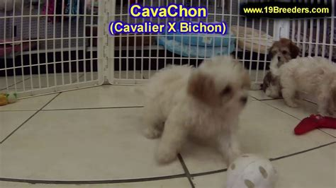 cavachon puppies for sale nc cavachon puppies dogs for sale in carolina nc greensboro