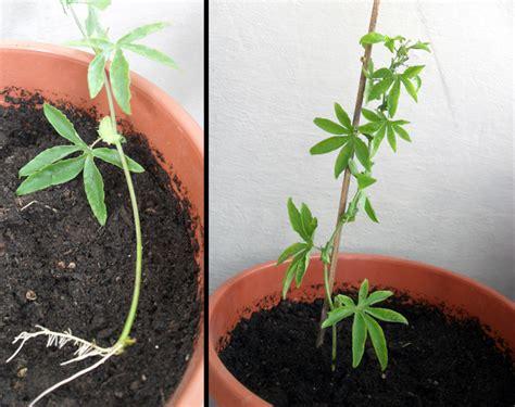 passiflora coltivazione in vaso passiflora balconefiorito
