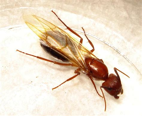 Ants With Wings In House by Florida Carpenter Ant Alates What S That Bug