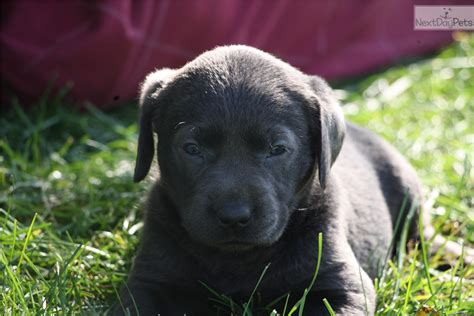 silver lab puppies for sale near me labrador retriever puppy for sale near lancaster pennsylvania 6d409fb3 ff81