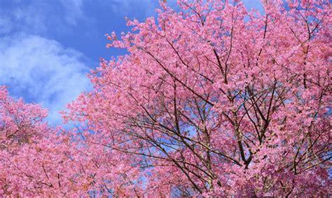 piante in fiore decorare i giardini con i ciliegi giapponesi