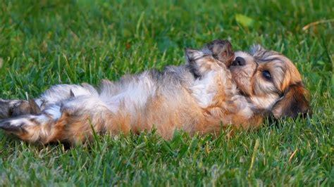bichon havanese puppies bichon havanese puppies