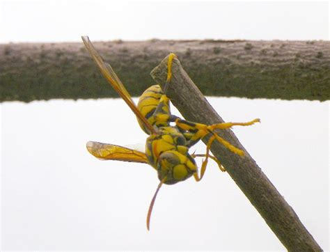 How To Make A Paper Wasp - paper wasps archives what s that bug