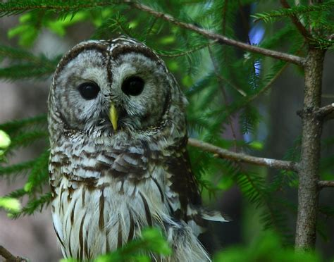 file barred owl wildlife 42 west virginia forestwander