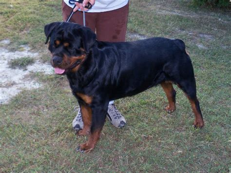 puppies for sale in pa 100 rottweiler puppies for sale in pa odo vom fleischer breeds picture