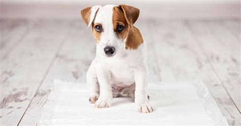 what stops dogs from peeing in the house peeing in the house woes teach your dog to stop