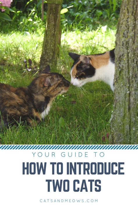 introducing cat to how to introduce two cats cats and meows