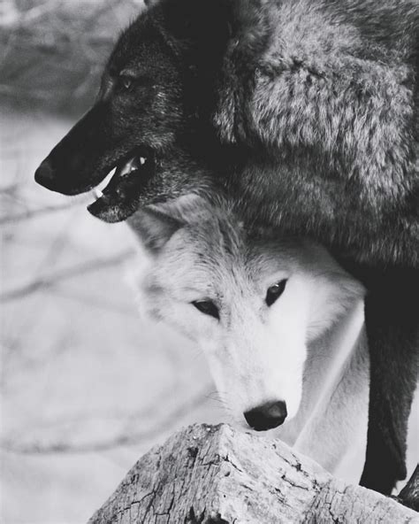 imagenes tumblr lobos by getinkedshedtears http getinkshedtears tumblr com