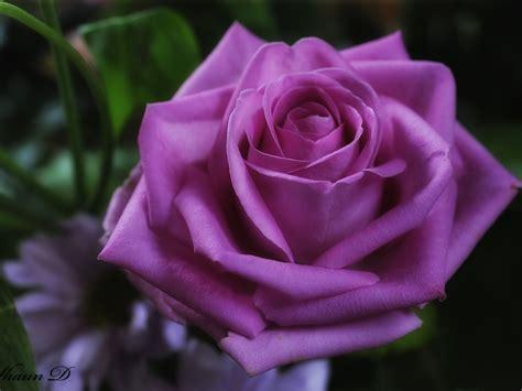 imagenes extraordinarias de flores image gallery imagenes de rosas moradas