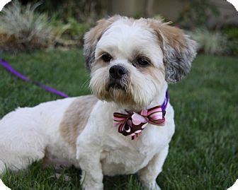 shih tzu lhasa apso mix for sale shih tzu poodle mix puppies for sale california breeds picture