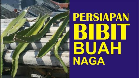 Bibit Buah Naga Surabaya cara budidaya buah naga part 1 persiapan bibit buah