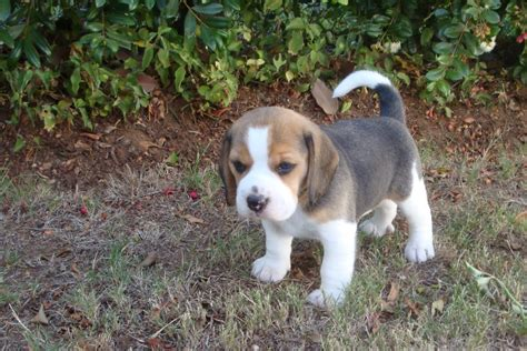 beagle puppies colorado beagle puppies for sale in colorado springs wallpaper breeds picture