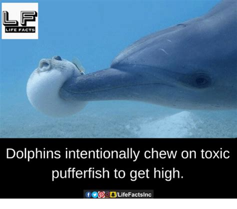 Dolphin Blowfish High Detox by 25 Best Memes About Dolphins Dolphins Memes