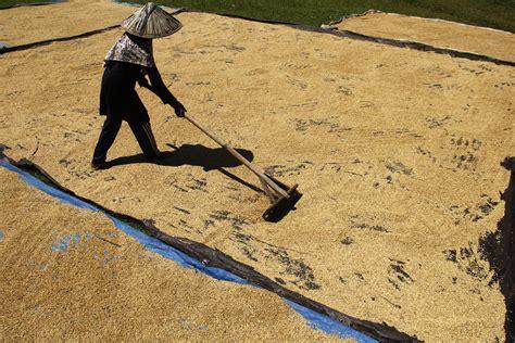 Gambar Bps bps koreksi produksi padi tahun 2015 merahputih