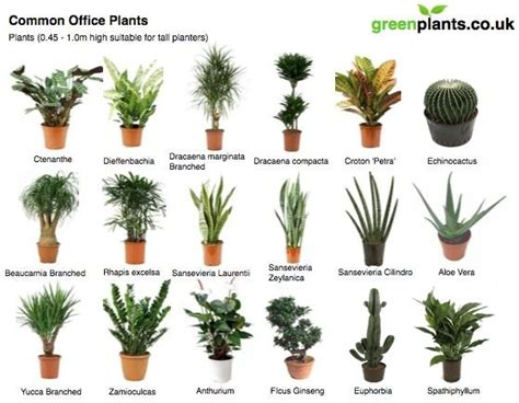 Houseplants That Don T Need Light by Common Office Plants Greenplants Co Uk