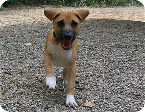 boxer shepherd puppies burt adopted puppy fennville mi boxer shepherd unknown type mix