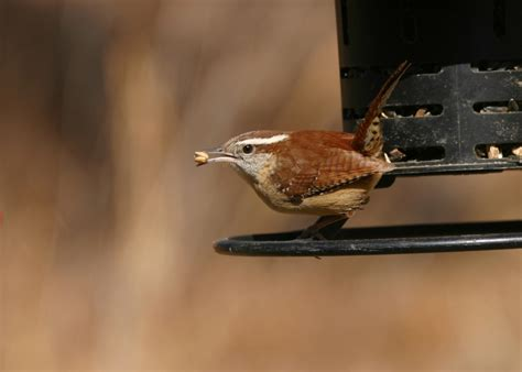 carolina wren aspen song wild bird food